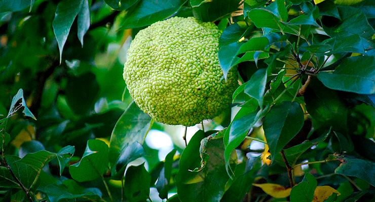 Адамово яблоко – что такое?