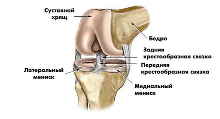 Описание коленного сустава